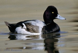 Image of a Lesser Scaup