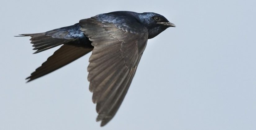 Image of a male Purple Martin