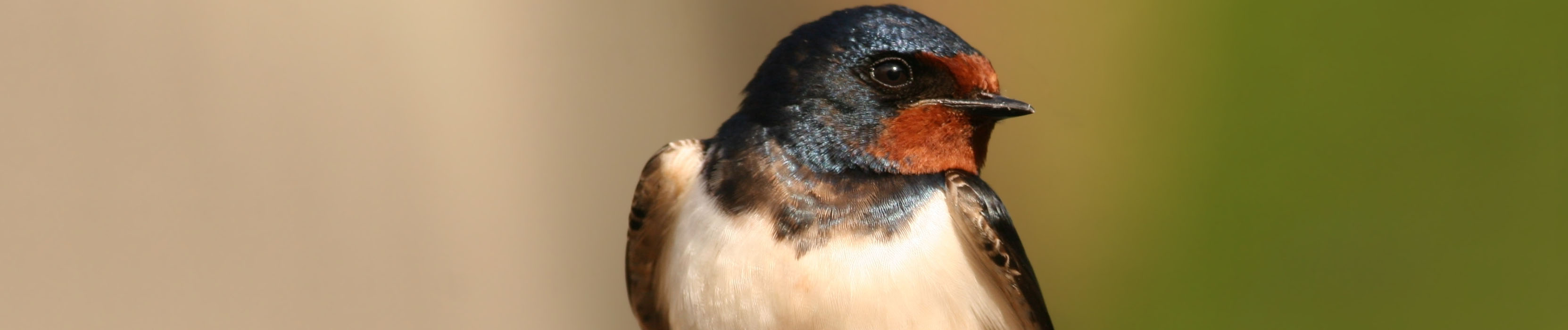 Barn and Bank Swallows Legally Listed as Threatened