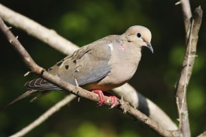 Image of a Mourning Dove