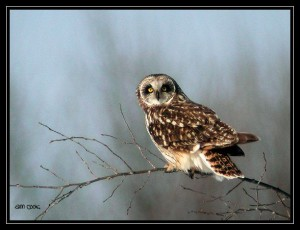 Image of a Short-eared Owl