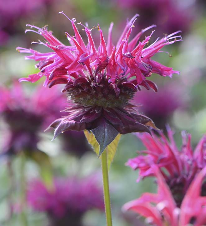 Image of Bee Balm