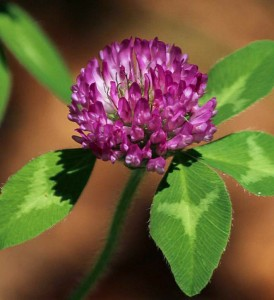 Image of a Red Clover