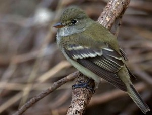 Image of a Alder Flycatcher