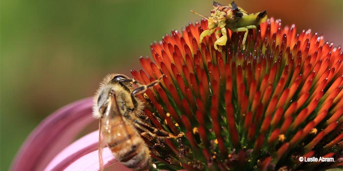 Image of an ambush bug and bee