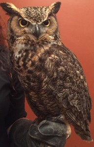 Image of Darwin the Great Horned Owl