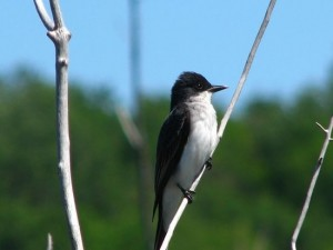 Image of Eastern Kingbird
