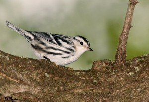 Image of a Female Black and White Warbler