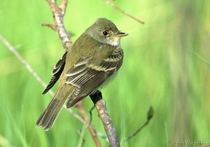Image of a Willow Flycatcher