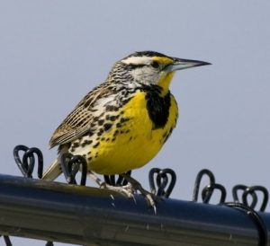 Image of the Eastern Meadowlark