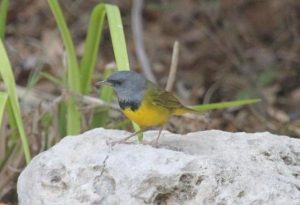 Image of a Mourning Warbler