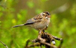 Image of a Clay-coloured Sparrow