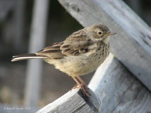 Image of an American Pipit