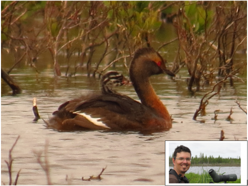 Image of a Horned Grebe