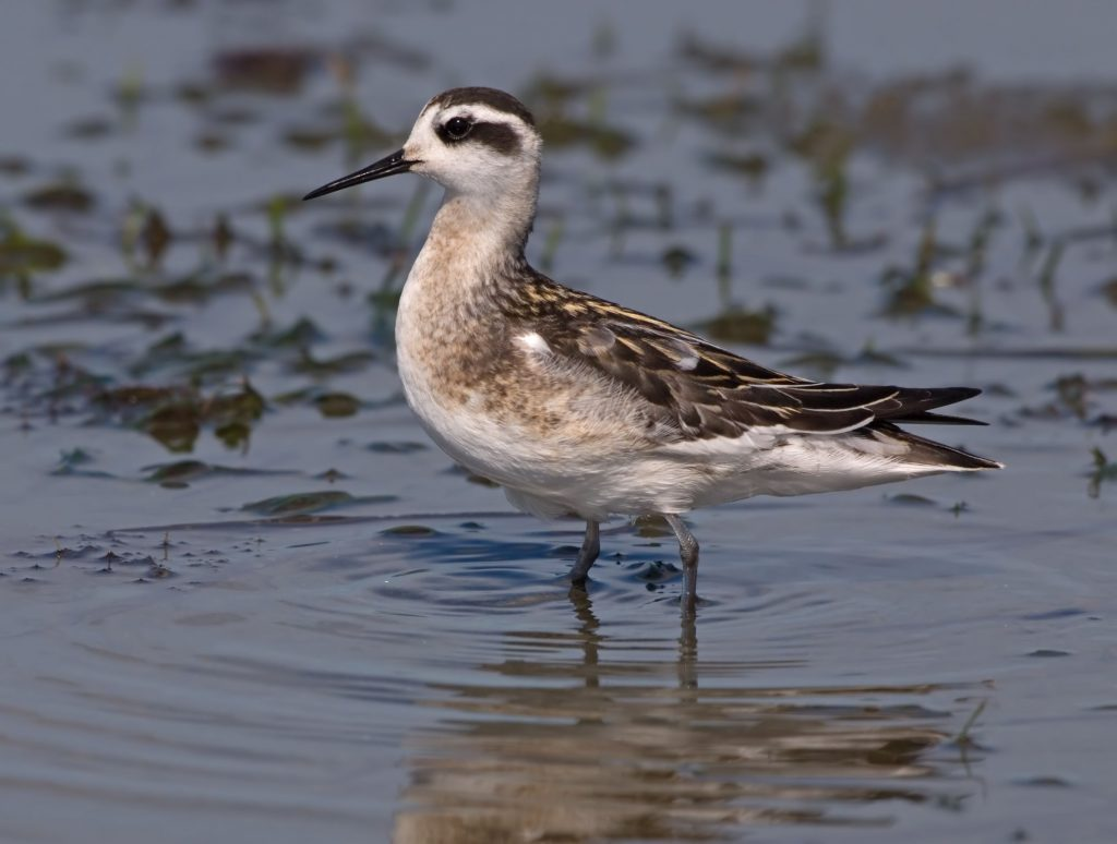Image of Red-necked Phalarope