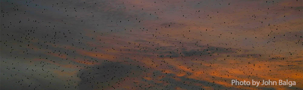 Roost Sites: One of Nature's Most Amazing Spectacles