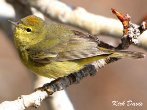 Image of Orange-crowned Warbler