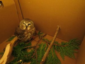 Image of a Saw Whet Owl