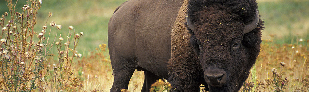 Image of an American Bison