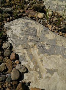 Image of fossils of shells on a rock