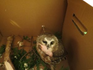 Owl with mouse