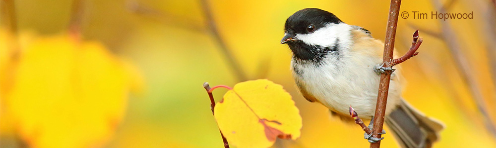 Image of a fall Chickadee