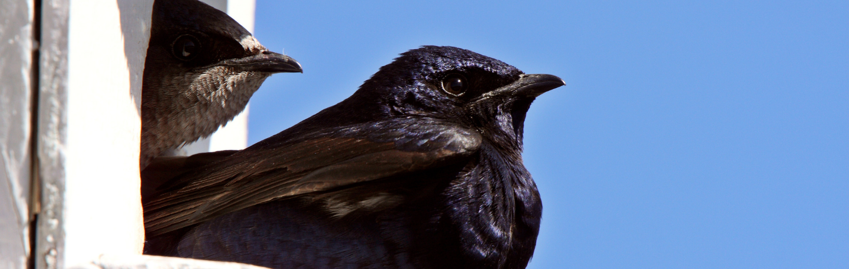 The Purple Martin Project
