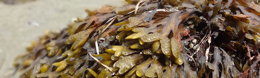 Pacific Seaweeds – A Guide to Common Seaweeds of the West Coast