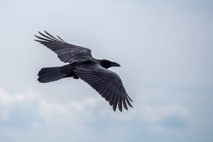 Image of a Raven