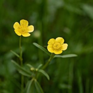 Image of a buttercup