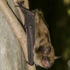 image of a Big Brown Bat