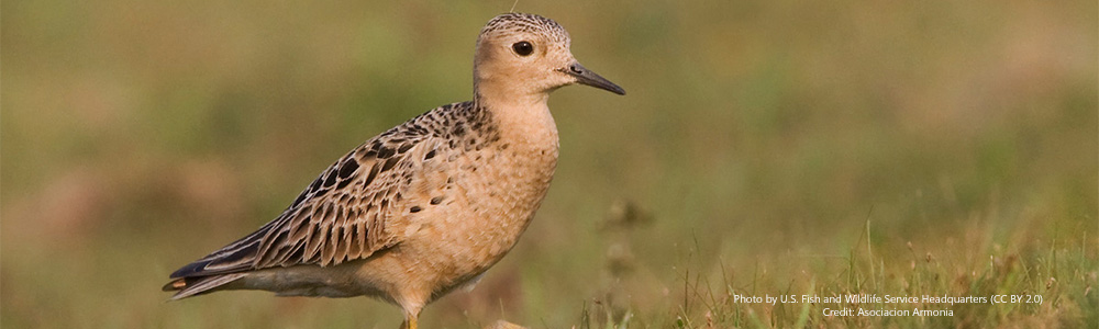 5 Things You Didn't Know about the Buff-breasted Sandpiper