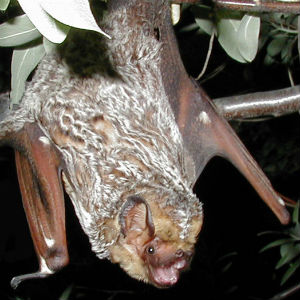 image of a Hoary Bat