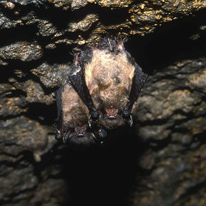 image of a Little Brown Myotis