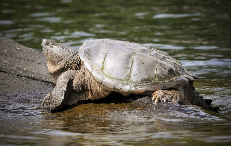 Image of a Snapping Turtle