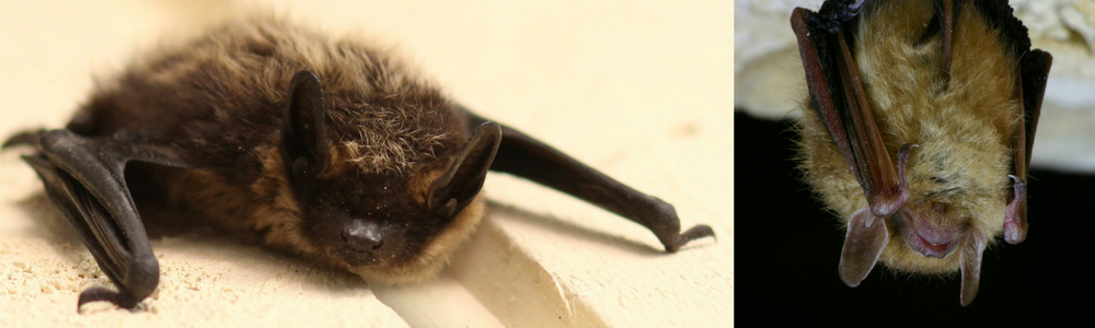 image of Tri-coloured Bat and Nothern Myotis