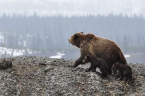 image of a Grizzly Bear and her cubs