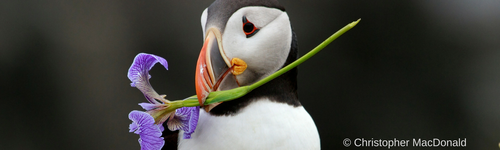 The colourful Atlantic Puffin