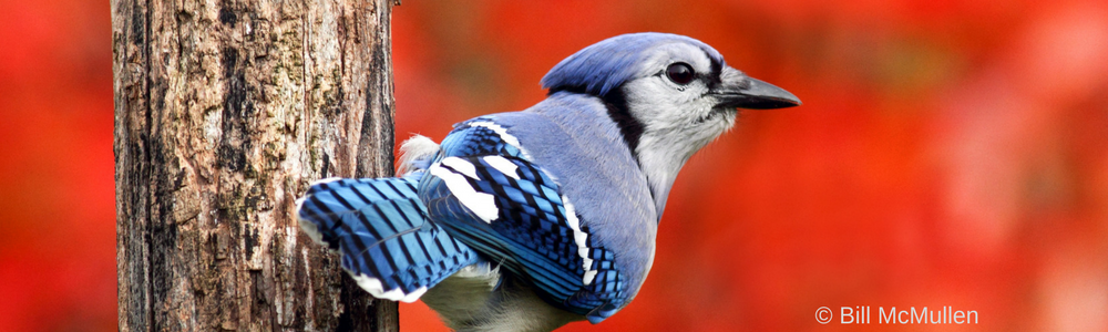5 Weird Facts about Blue Jays