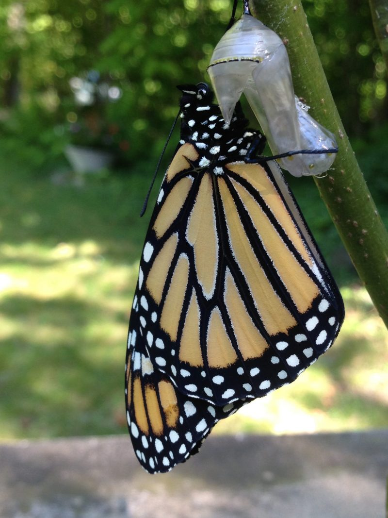 Image of a Monarch emerging from the chrysalis