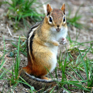 image of an Eastern Chipmunk