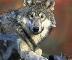 image of a Grey Wolf