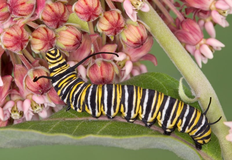 Image of a Monarch caterpillar