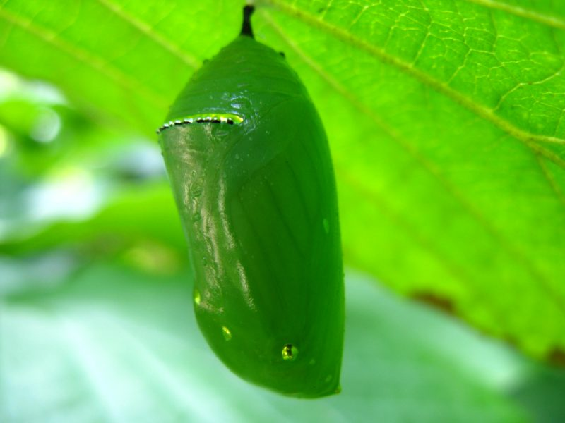 Image of a Monarch chrysalis