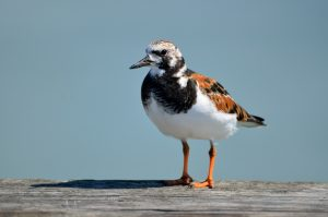 image of a Ruddy Turnstone