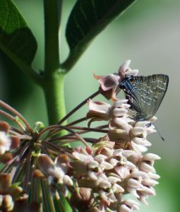 Image of a Lycaenid Butterfly nectaring on common milkweed
