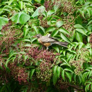 Image of Photo of a Robin eating fruits of Elderberry