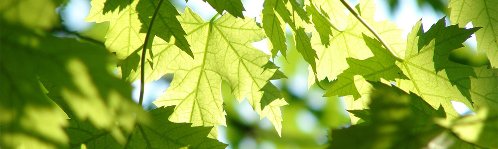 Image of a maple tree