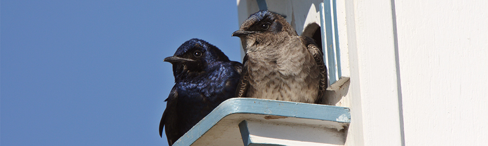 Image of Purple Martins