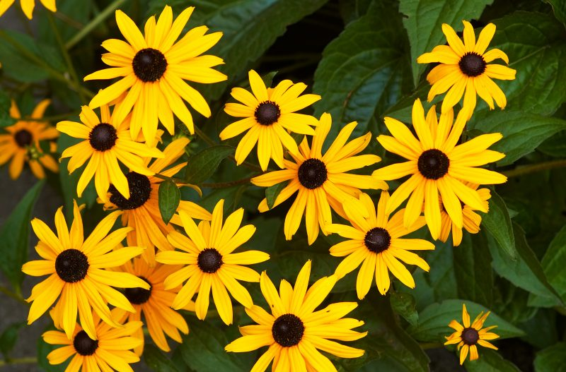 Image of Black eye susans